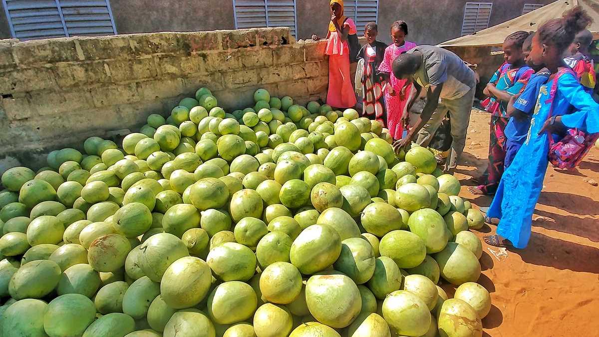 Wassermelonen sind eine der wichtigsten Früchte im Senegal