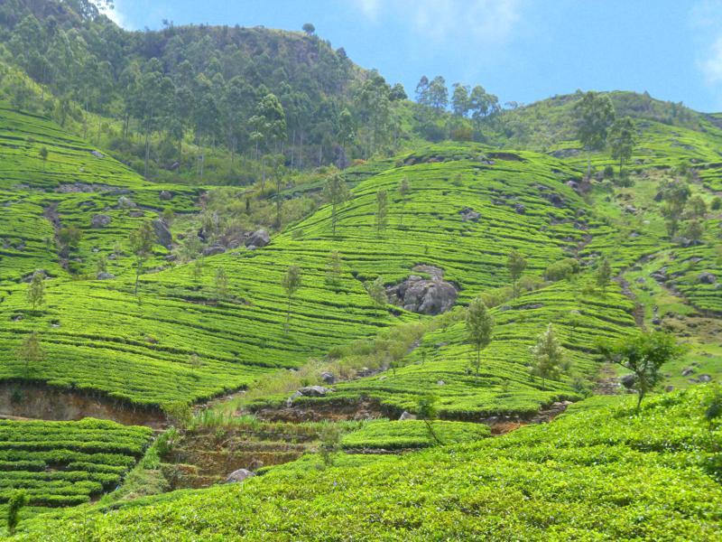 Atemberaubende Teeplantagen im Hochland von Sri Lanka