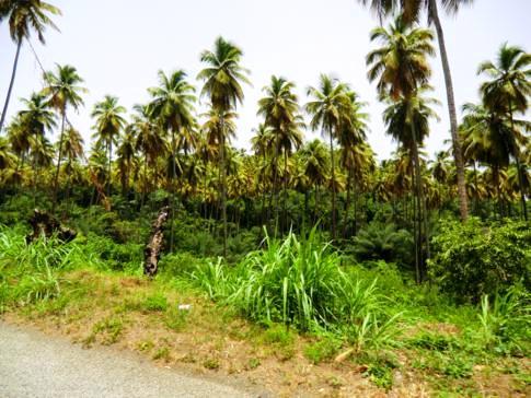 Schöner Palmenhain auf dem Weg zurück nach Kingstown