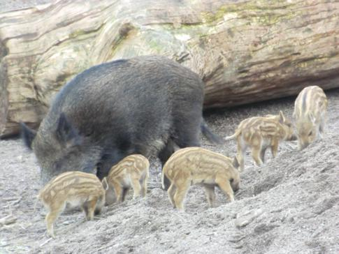 Ein Wildschwein mit ein paar Frischlingen im Tierbereich von Skansen