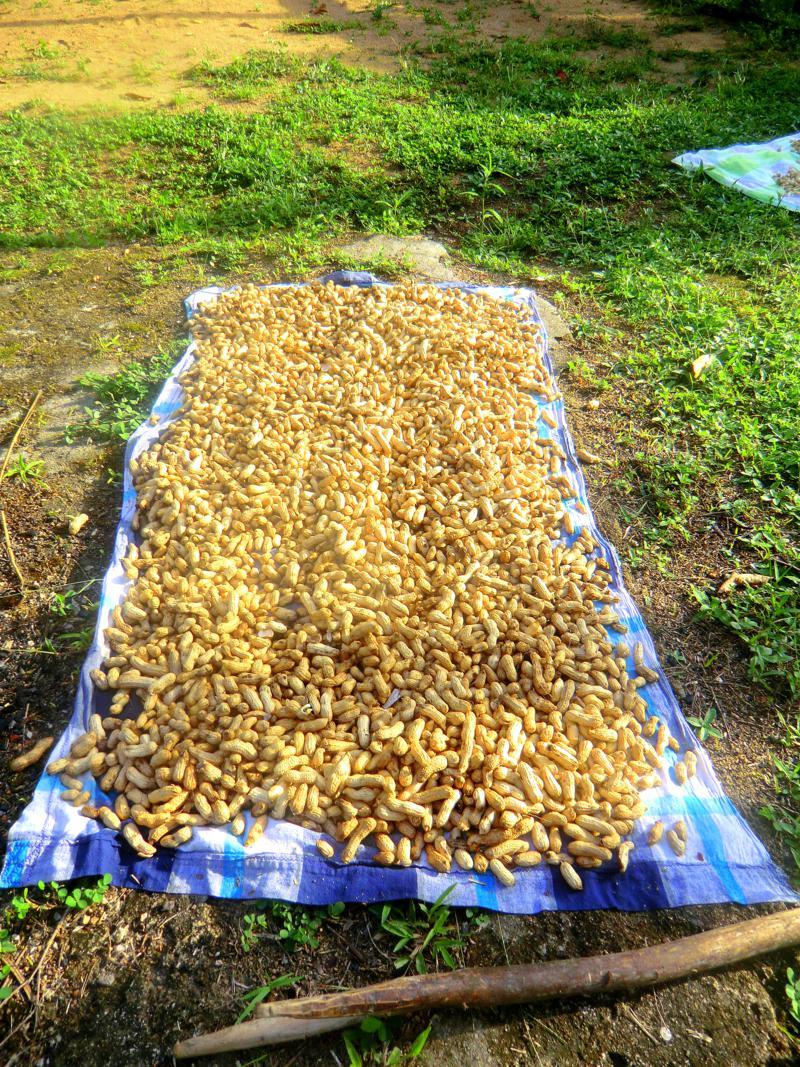Erdnuss-Anbei im Dorf Pingpe am Suriname River