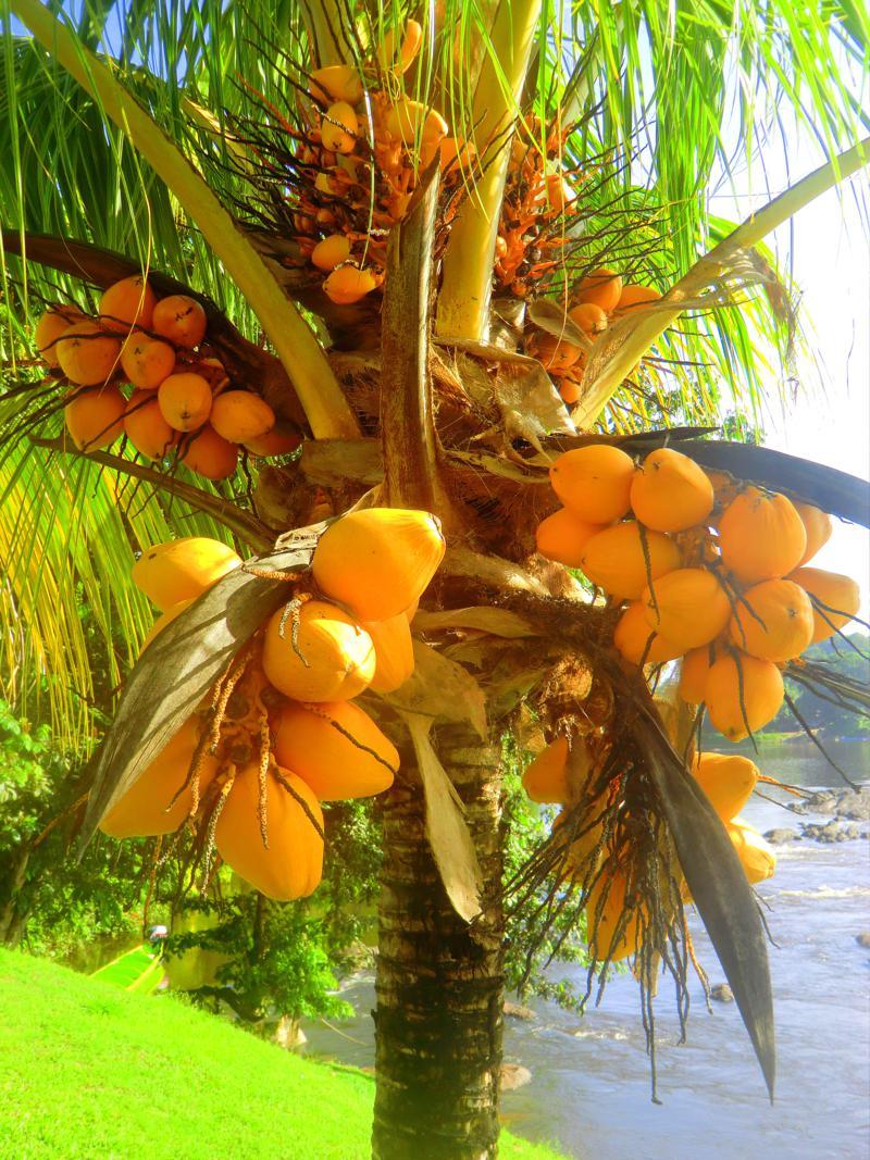 Leuchtende Kokosnüsse in Botopassie