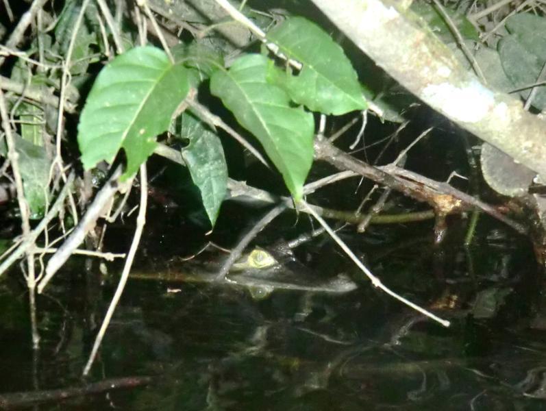 Kaiman-Beobachtung auf dem Suriname River
