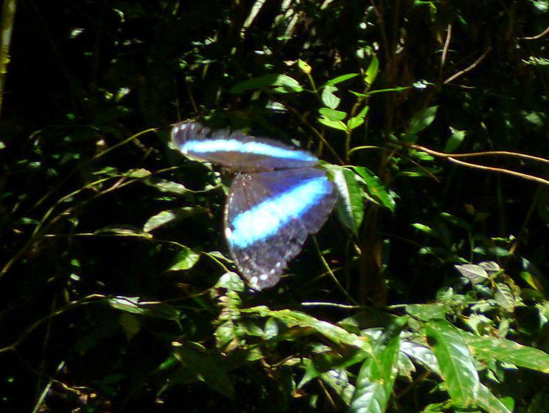 Beeindruckende Vielfalt an Schmetterlingen im Dschungel von Suriname