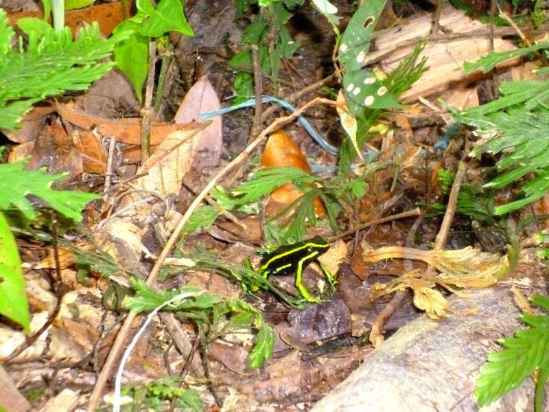 Ein giftgrüner Frosch im Dschungel-Camp