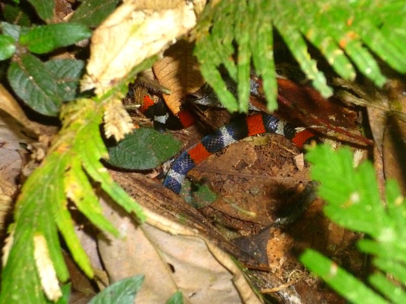 Die Korallenotter im Dschungel von Suriname