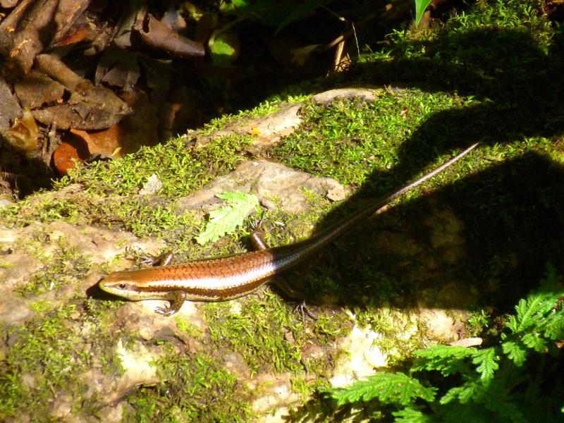 Eine weitere Echse im Regenwald von Suriname