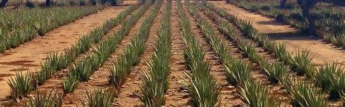 Blogpost über meinen Besuch in der Aloe Vera Factory auf Aruba