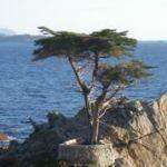Reisebericht zum Highway No. 1 - hier im Bild der Lone Cypress am 17-Mile Drive