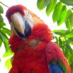 EIn Ara grüßt freundlich im Regenwald von Suriname