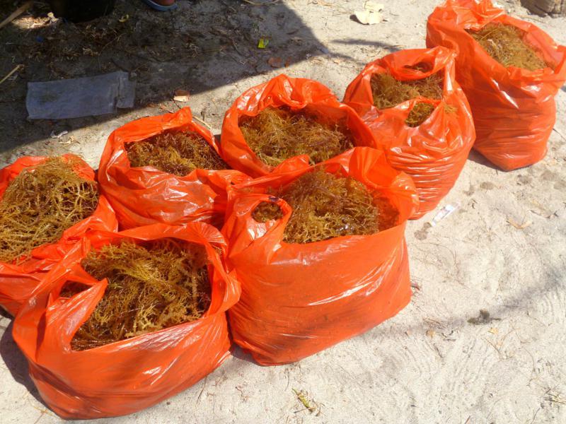 Seegras - ein klassisches Nahrungsprodukt auf Atauro Island