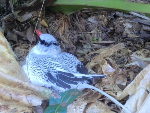 Ein Tropenvogel auf der Vogelschutzinsel Little Tobago