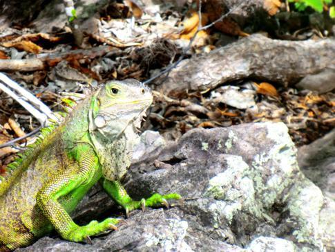 Ein Iguana auf Petit Bateau