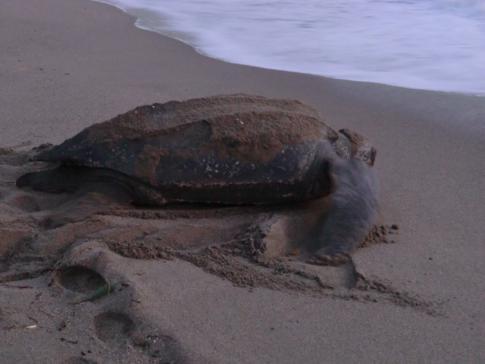 Eine der riesigen Lederschildkröten am Strand von Grande Riviere