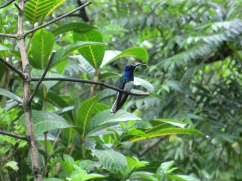 Der Hummingbird, Nationalsymbol und -vogel von Trinidad und Tobago