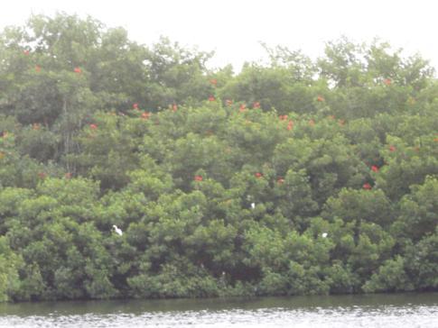 Die feuerroten Scarlett-Ibisse in ihren Nestern im Caroni Swamp