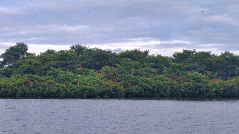 Vogelbeobachtung der Scarlett-Ibisse im Caroni Bird Sanctuary