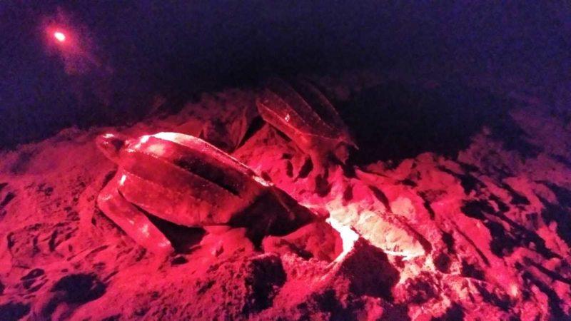 Beobachtung der Lederschildkröten im Norden von Trinidad, in Grande-Riviere