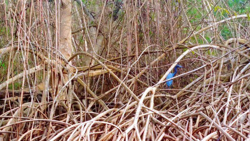 Das Caroni Bird Sanctuary zur Beobachtung der Scarlett-Ibisse