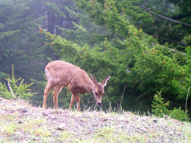 Ein Wapiti-Hirsch im Olympic National Park in Washington State